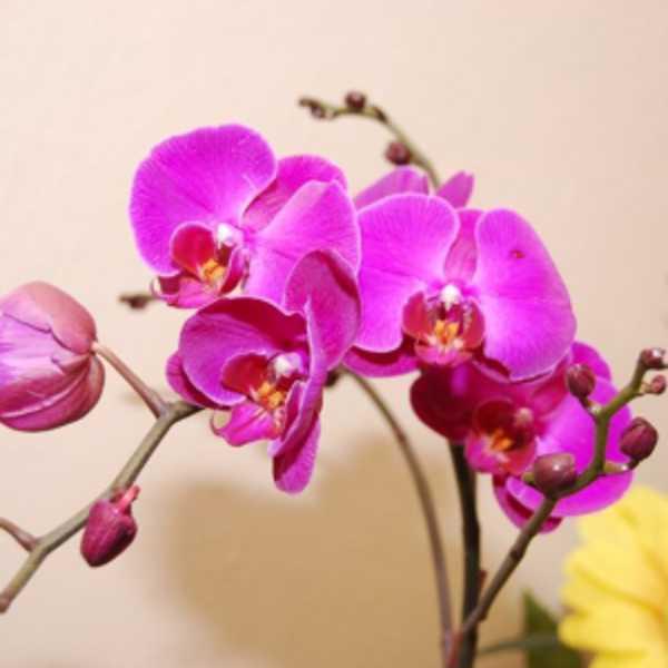Орхидея фаленопсис два ствола домашняя