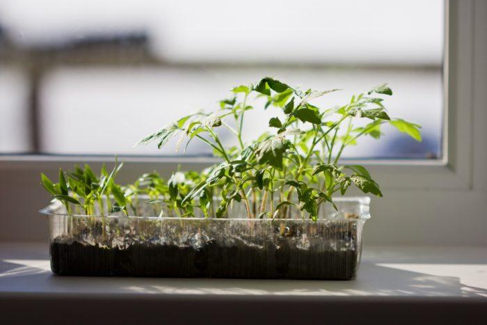 Seedlings-on-windowsill-Web.jpg