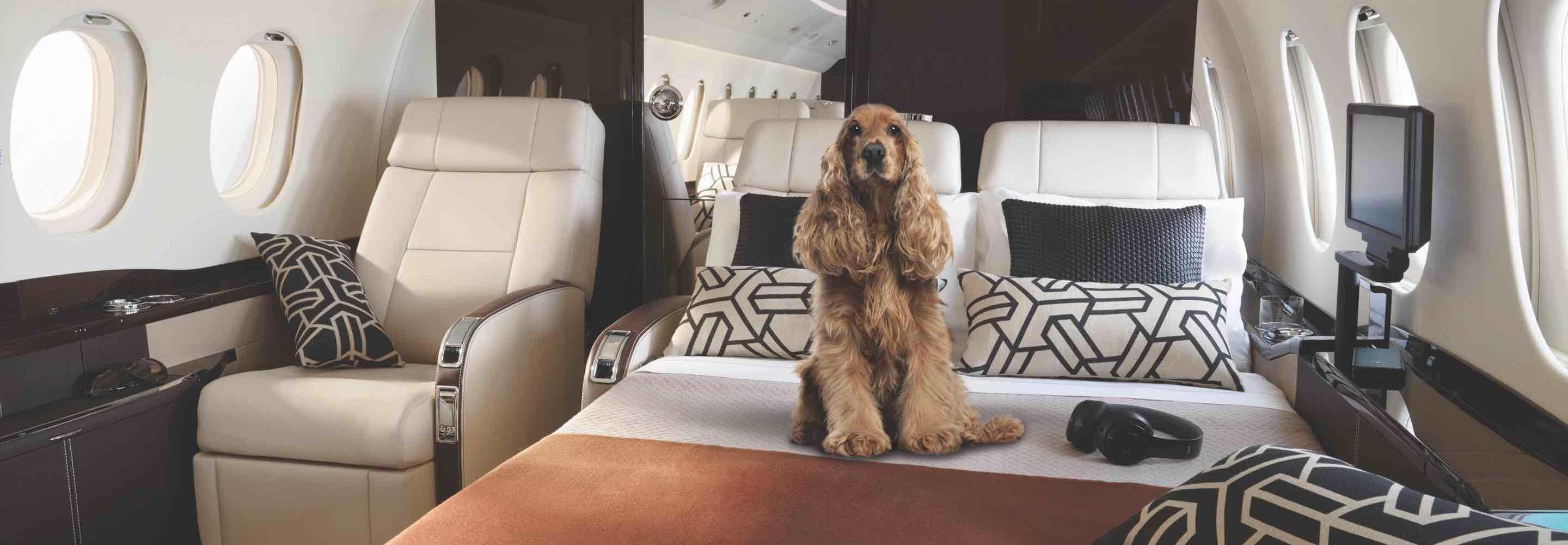 English Cocker Spaniel chocolate on a bed in a private jet illustrating flying with pets
