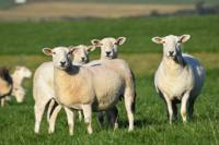 Free virtual farm tours. Calving time & Lambing time