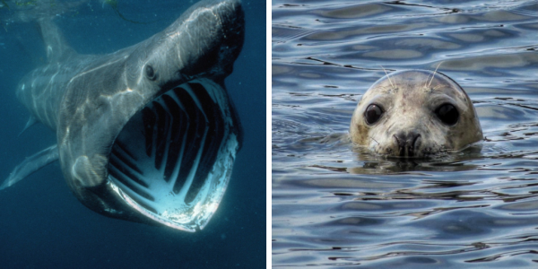 Basking Shark and Seal, Isle of Man