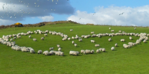 Sheep on the Isle of Man