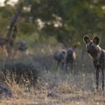 African Wild Dog - Rich Laburn