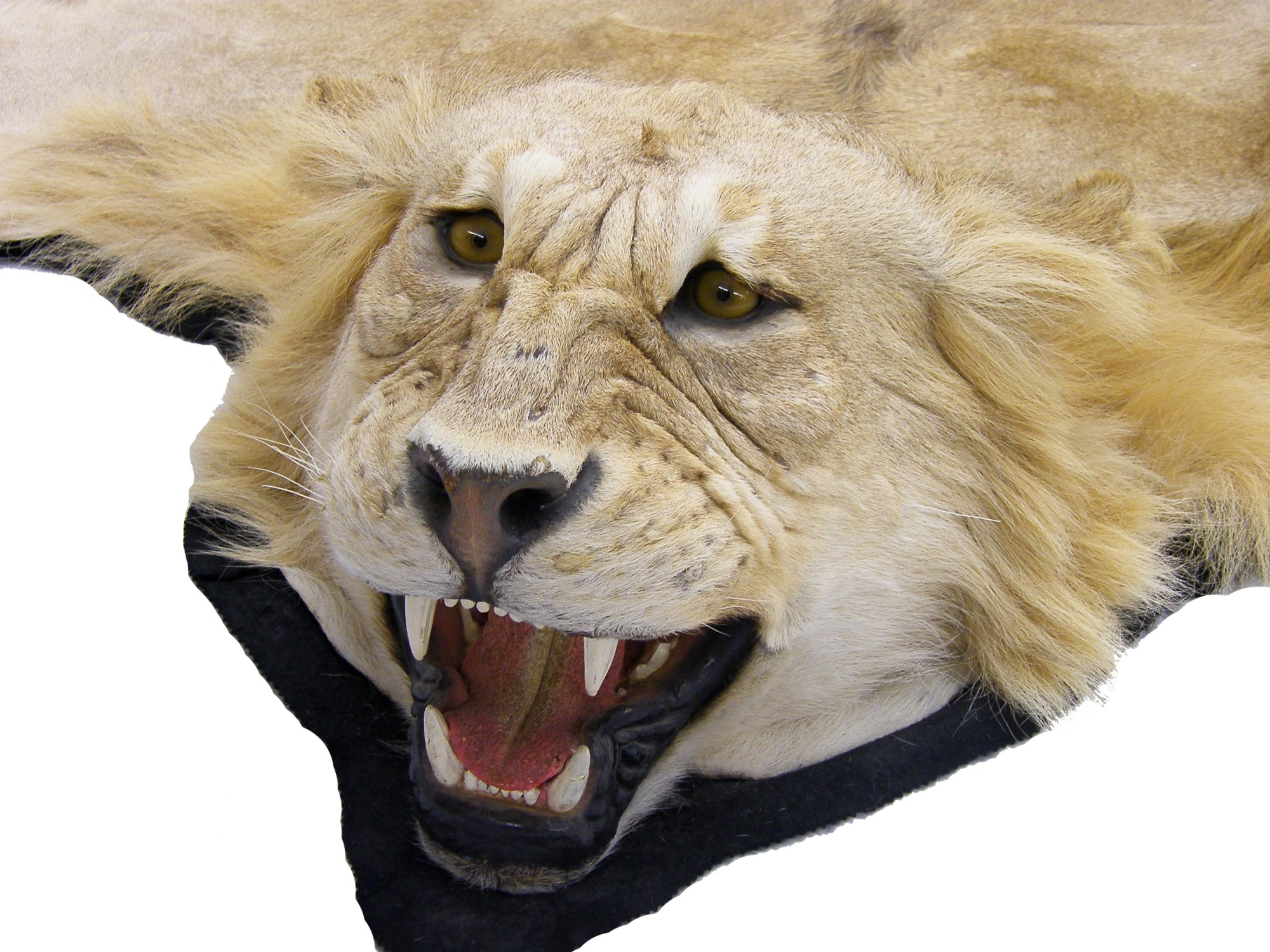 Lot 1240   Taxidermy Study   Impressive African Lion Skin Rug With Head  Mount, Open