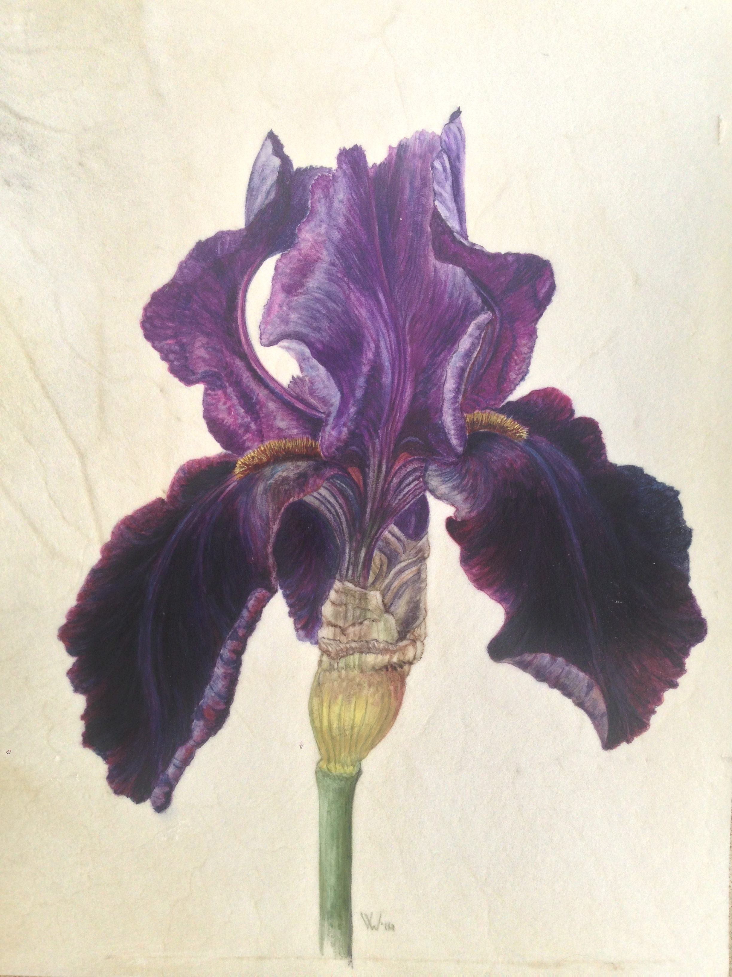 Lot 38 - Veronica Ward Study of a Black Iris water colour on vellum signed on front VW Executed in 2014 23 x