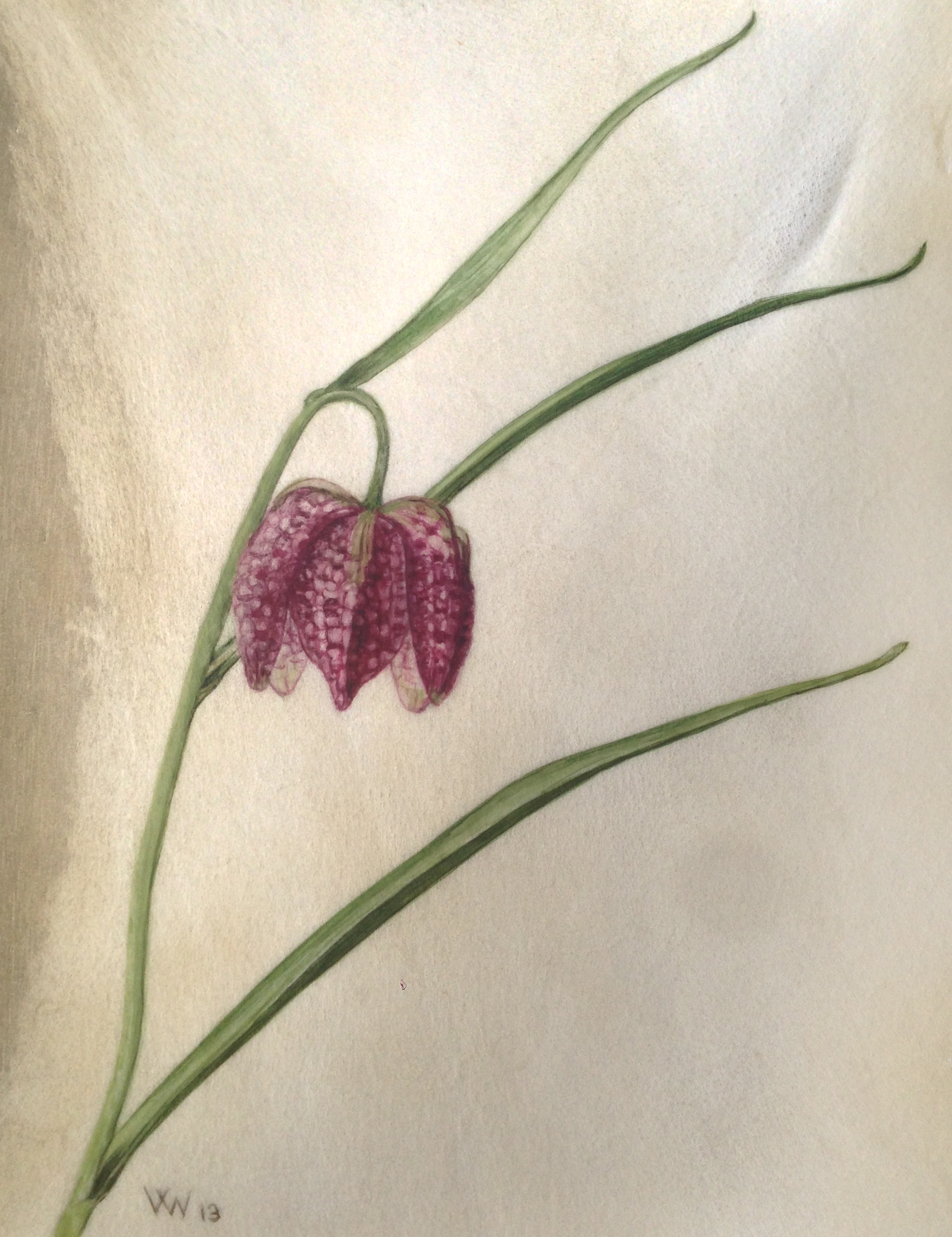 Lot 39 - Veronica Ward A pair of fritillary heads Water colour on vellum signed on front VW Executed in 2013
