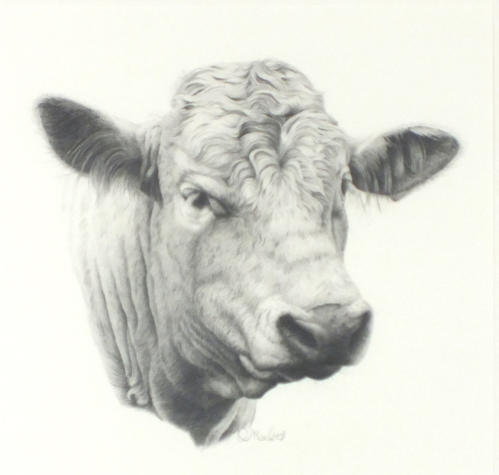 Cow Head Pencil Drawing