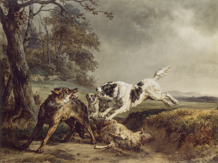 Dogs attacking a Wolf