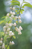 Close shot of Halesia Monticola Vestita (Western form of Mountain Snowdrop) in the South Garden at Emmetts Garden
