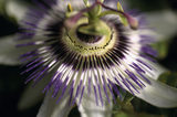 A close up of a passion flower 'passiflora caerulea' growing in the garden at Sissinghurst in July