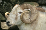 Close view of a head of a Welsh Mountain sheep on the Hafod Y Llan estate in Snowdonia