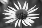 Close up of the flower of Echinacea purpurea ALBA in the garden at Sissinghurst in the summer