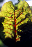 A detailed close up of Ruby Chard reveals its almost vein-like vessels that criss- cross its leaves, in the Kitchen Garden at Clumber Park