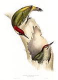 BIRDS OF EUROPE - GREEN WOODPECKER (Picus viridis) in the 19th century book by John Gould, in the Library at Blickling Hall
