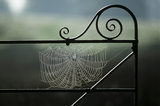 The web of Garden or Cross Spider (Araneus diadematus) suspended on an iron gate in the Park at Petworth