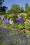 Delphiniums and lavender in the Walled Garden at Polesden Lacey, Surrey in June