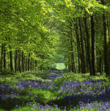 A tree flanked glade, carpeted with bluebells in Dockey Wood