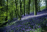 On the slopes of the Bluebell Wood at Emmetts Garden