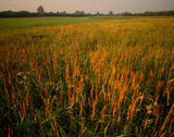A view of a field of reeds at Wicken Fen, Cambridgeshire