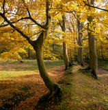 Beautiful autumnal view through the woodland on the Ashridge Estate, with glowing golden leaves