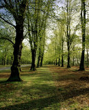 The Lime Tree Avenue, one of the finest features of Clumber Park