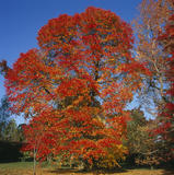 A crimson coloured Nyssa Sylvatica tree set against a brilliant blue sky in Autumn