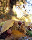 Chestnuts in the husk and leaves in autumn at Sheffield Park, East Sussex