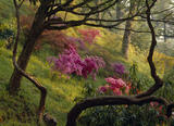 Rhododendron bushes in bloom on wooded slopes at Bodnant, sunlight on grass, pink, mauve blossoms