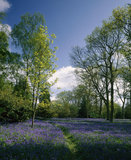 Bluebell time at Winkworth Arboretum, Surrey