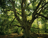 View of a large frithsden beech tree in the middle of the forest at Ashridge Estate