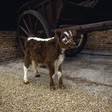 Small young calf tied up to a large cart at Wimpole Home Farm