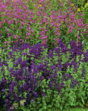 The Courts, Holt, penstemon 'Pink Endurance` and a purple flower