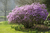 Azalea and daffodils in flower beside the lake at Stourhead, Wiltshire, in March