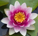 Close view of a water lily (Nymphaea) in the Pool Garden in June at Hinton Ampner, Hampshire