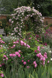 "Rosa ""Coup d'Hebe"" in the foreground and ""Laure Davoust"" on the rose arch at Mottisfont Abbey Garden, Hampshire"