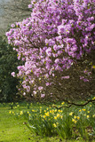 Azalea and daffodils in flower at Stourhead, Wiltshire, in March