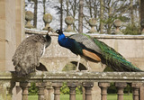 Peacock and peahen on the balustrade at Berrington Hall, Herefordshire