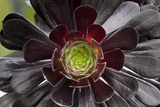 Close view of Aeonium arboreum
