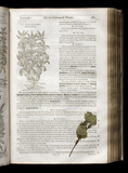 "Illustrated page from John Gerard ""The Herball of General Historie of Plantes"" (London 1633) showing the Balsam Mint, and a pressed leaf of the plant, in the Springhill Library collections"