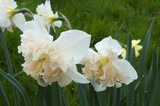"Narcissus ""Diversity"" outside the Walled Garden in April at Wimpole Hall, Cambridgeshire."