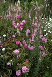 "A soft and pretty combination of Linaria, Lychnis and Rosa ""Camellia"" at Mottisfont Abbey Garden, Hampshire"