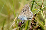 Female Large Blue Butterfly {Maculinea arion} laying her egg on host plant Thyme {Thymus drucei}