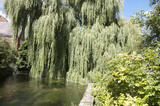 A weeping willow tree over the River Itchen, alongside the garden at Winchester City Mill, Hampshire