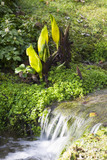 Lysichiton americanus (Yellow skunk cabbage) beside the stream in the garden at Lanydrock, Cornwall