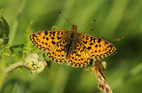 Small Pearl-bordered Fritillary (Boloria selene) butterfly at Marsland Mouth, Devon, a Devon Wildlife Trust Nature Reserve