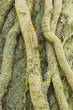 Twisted and textured tree roots in the grounds at Lyveden New Bield, Peterborough, Northamptonshire