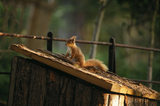 A red squirrel on Brownsea Island