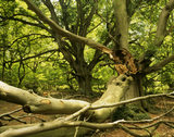 View of beech trees at Frithsden beeches with a broken pollarded beech branch in the foreground