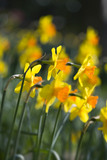 "Narcissus ""Masked Light"" in flower at Trelissick Garden, near Truro, Cornwall"