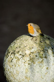 A robin (Ericathus rubecula) perched in the garden at Lanydrock, Cornwall